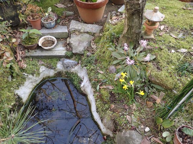 ミニ水仙が咲いて池周りも艶やかに