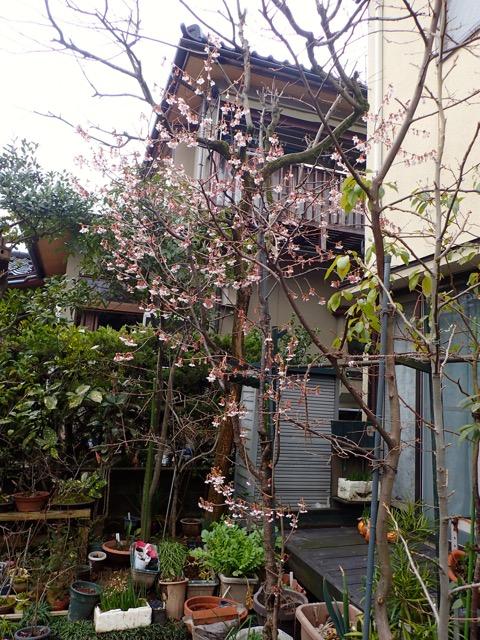 庭の山桜1
