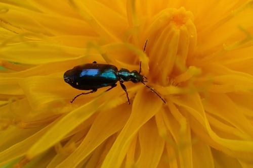 タンポポ 昆虫