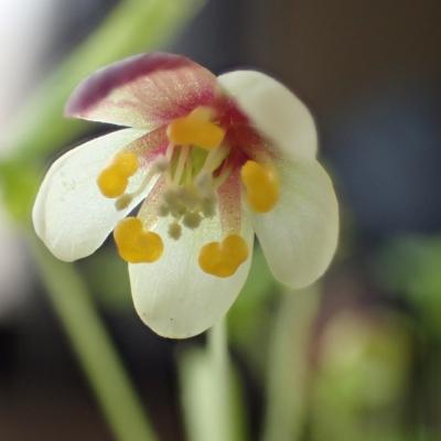 アズマシロカネソウの花