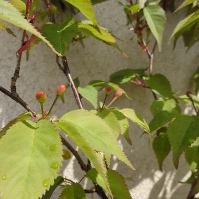 山桜のさくらんぼ