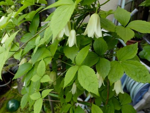 ハンショウズル(白色花)