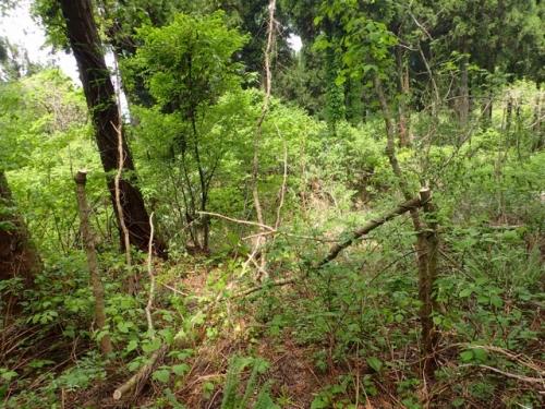 たらの芽の木 悲劇