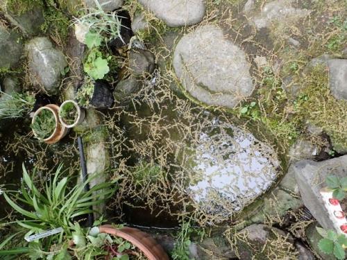 池に落ちたコナラの雄しべ残骸