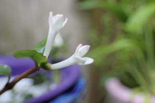 ツルアリドウシの花