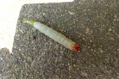 怪我した芋虫