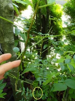 サンショウ アゲハ幼虫