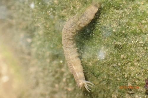 ガガンボ幼虫