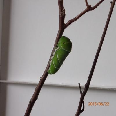アゲハ幼虫(前蛹)