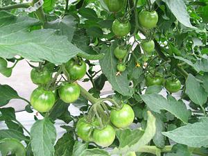 トマト管理4