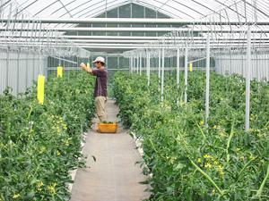 トマト管理1