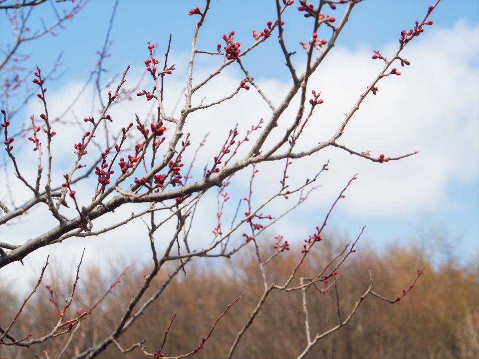 梅の木の枝