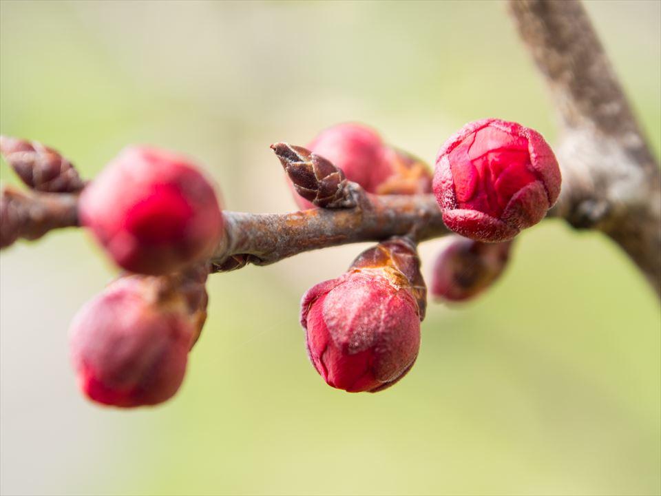 梅のツボミ