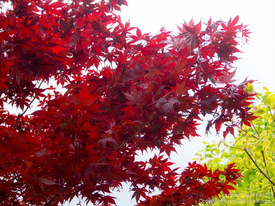 春紅葉と新緑のコラボ