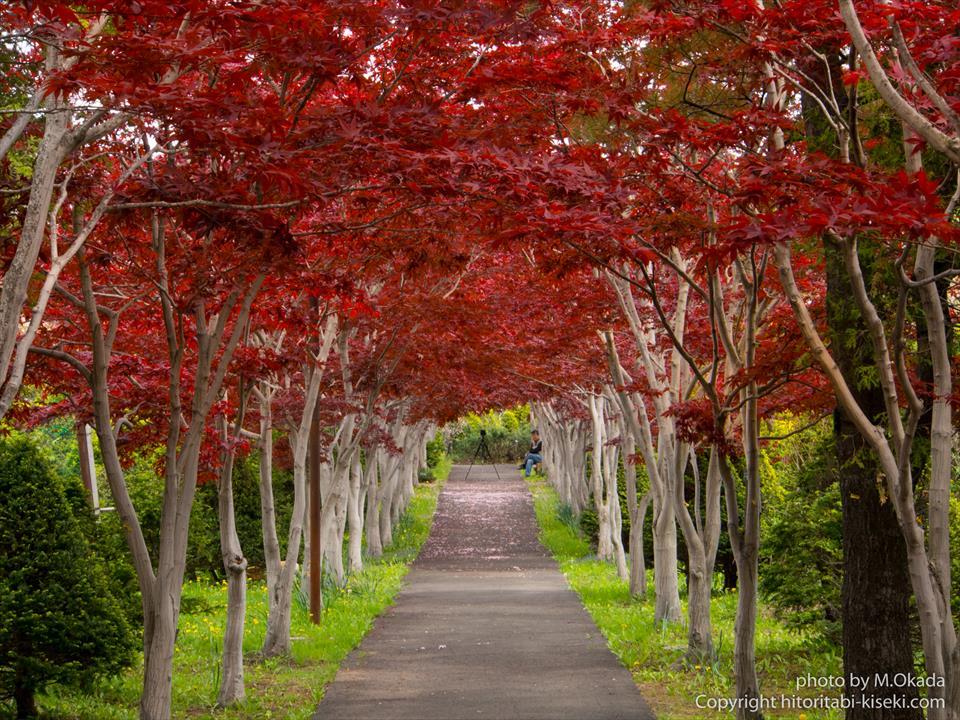 ノムラモミジの春紅葉で形作られたトンネル