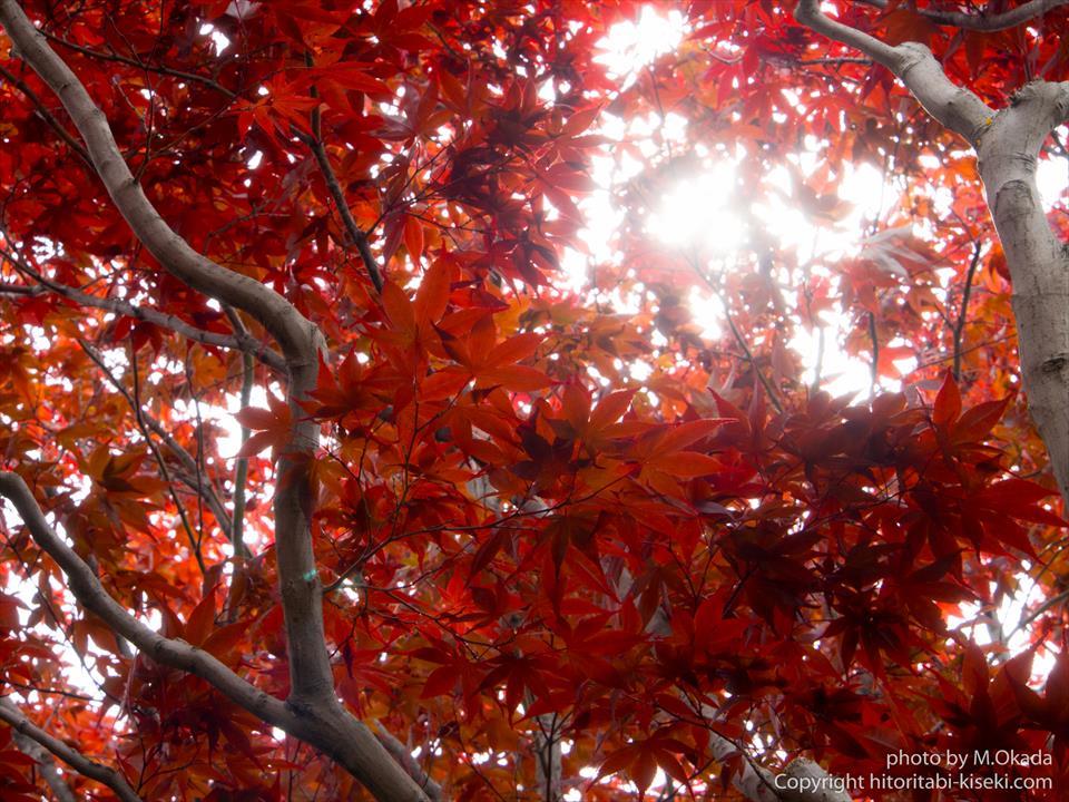 春紅葉と木漏れ日
