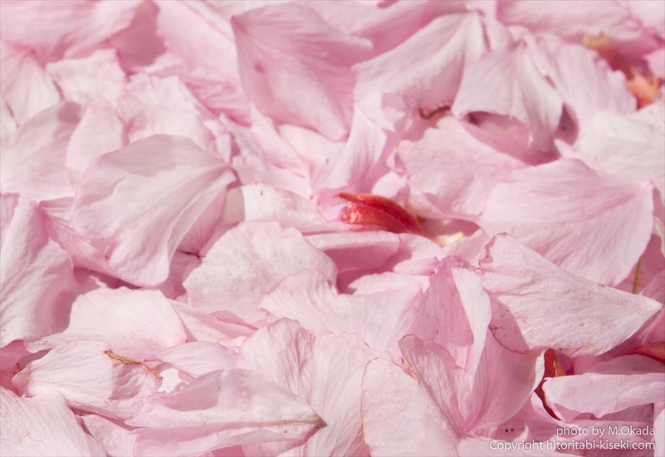 ピンク色の桜の花びら
