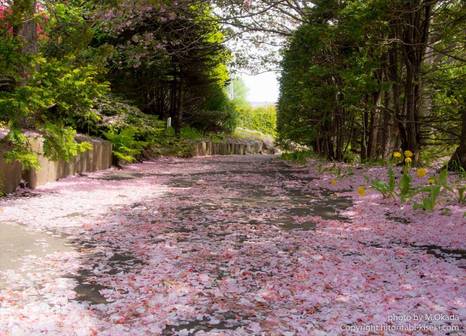 道の上に出来た桜の絨毯