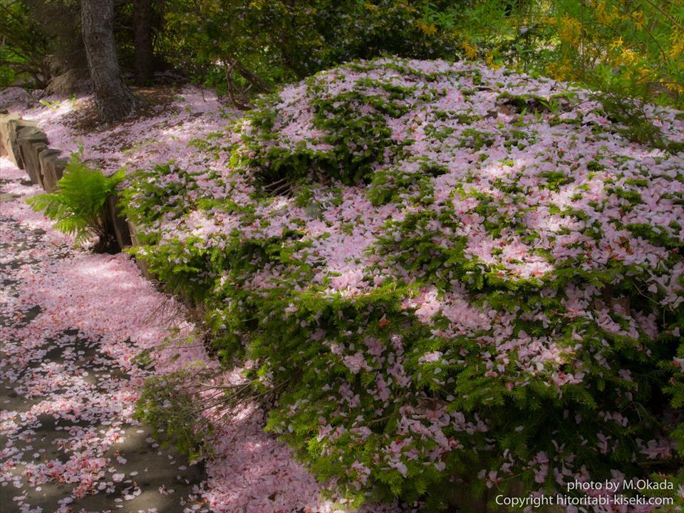 新緑に降り積もった桜の花びら