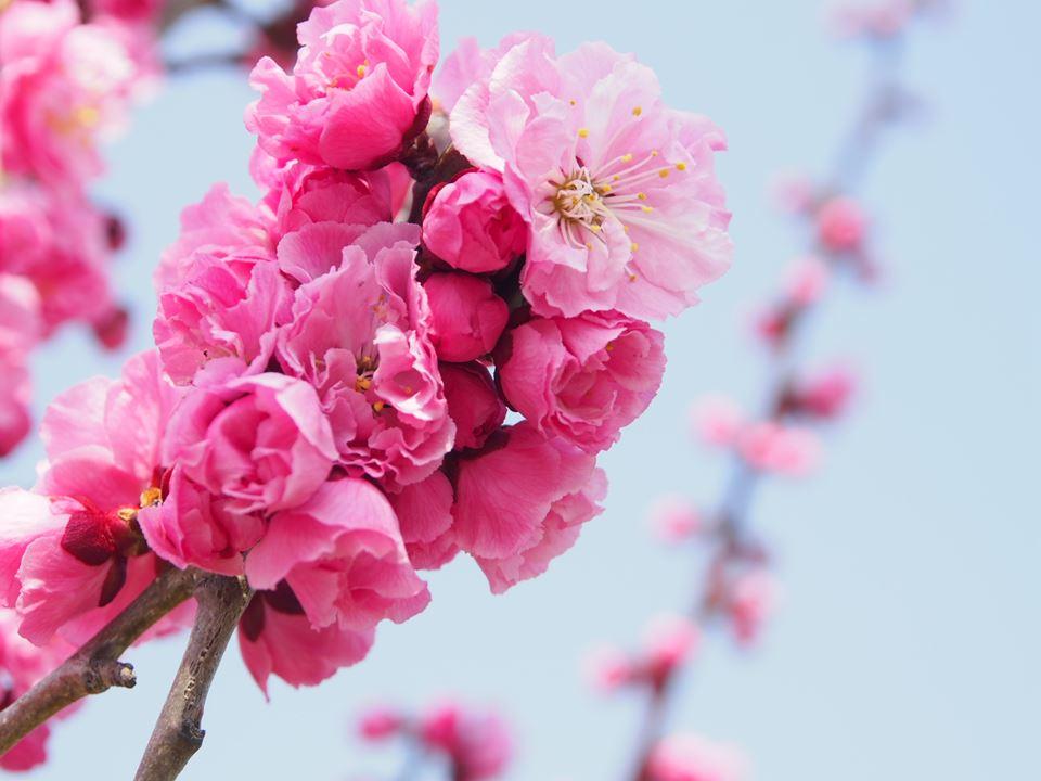 4月29日の平岡公園の紅梅