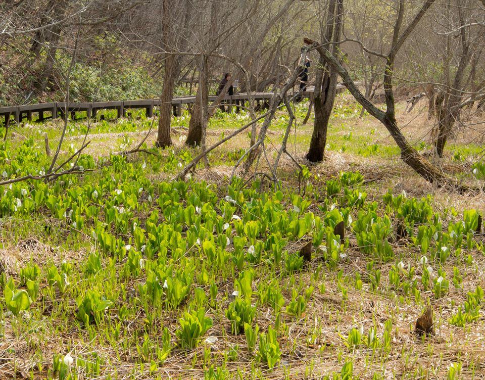 平岡公園に咲く水芭蕉