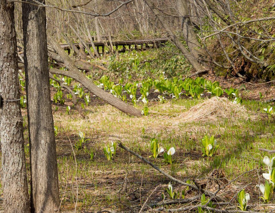 水芭蕉の花が咲いた風景