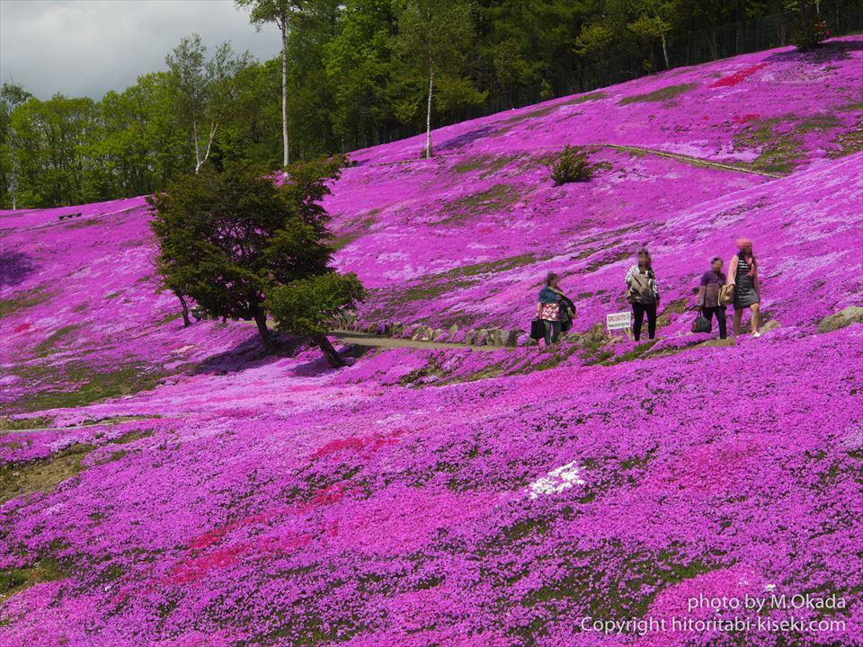 芝桜によるピンク色の絨毯