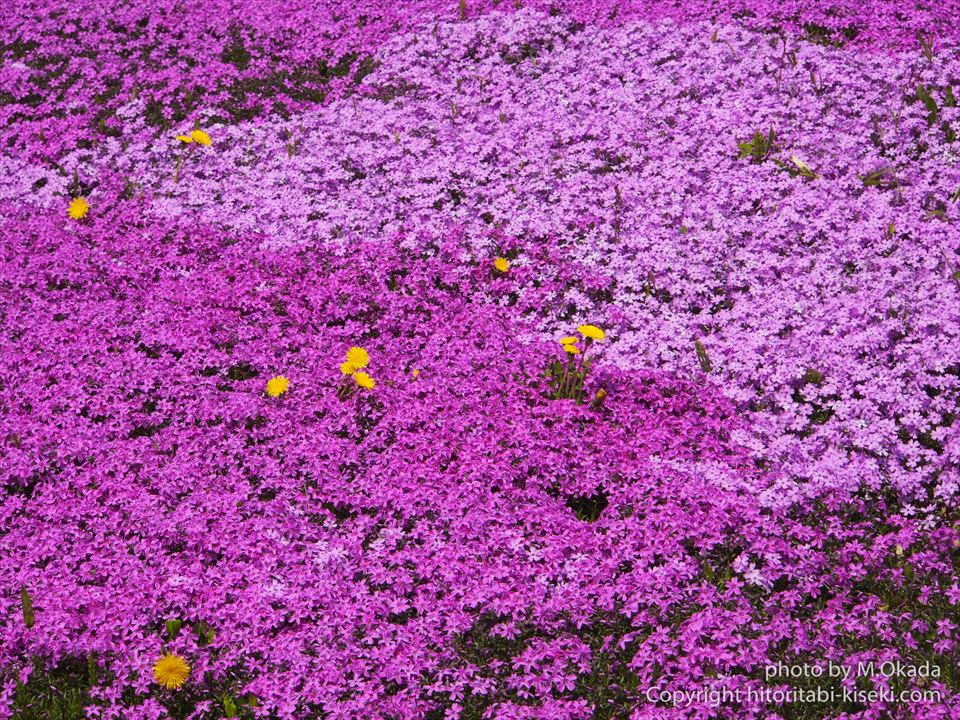 芝桜の配色