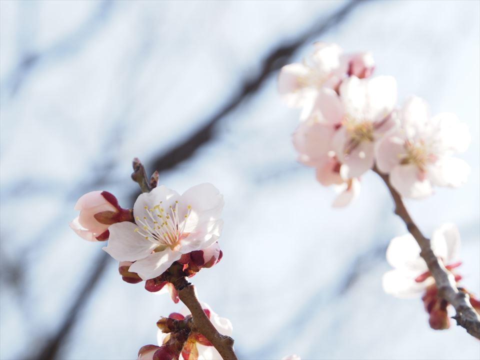 平岡公園の白梅の花
