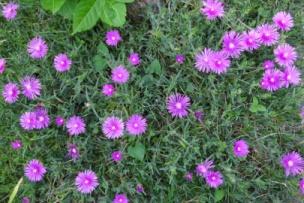 15マツバ菊