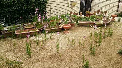 庭にはリナリア1503061