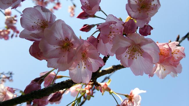 ピンク桜は綺麗150401