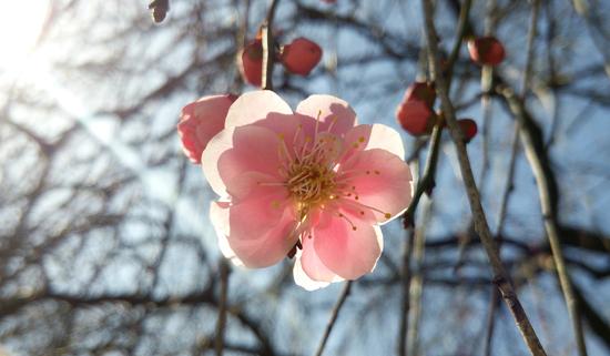 ピンクの梅1503011