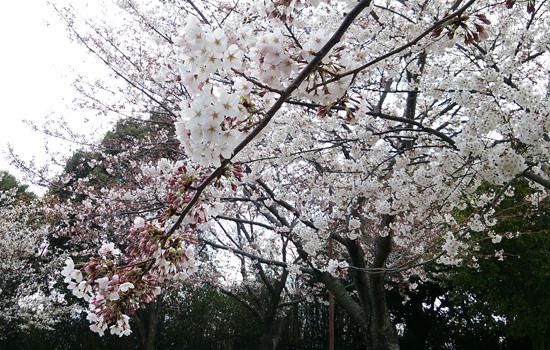 桜の枝15031