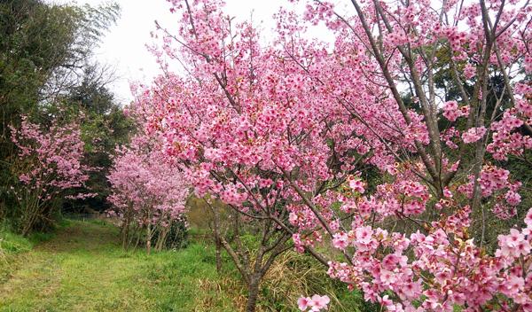 桜ピンク150401