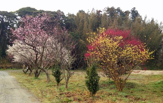 梅の競演150301