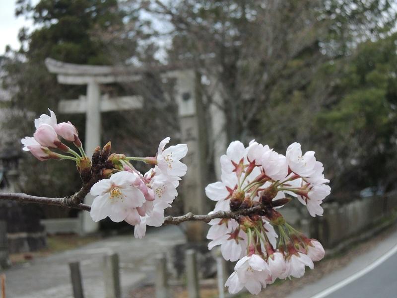 三尾神社付近の桜