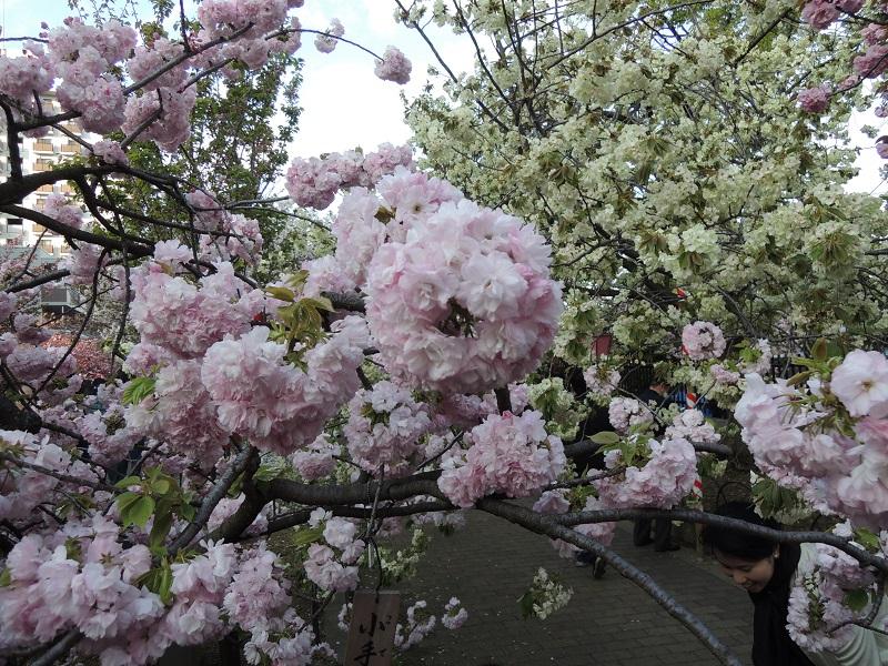 ピンク色の小手毬と白色の鬱金 桜の花