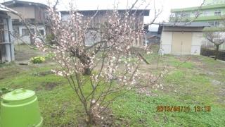 暖地桜桃樹