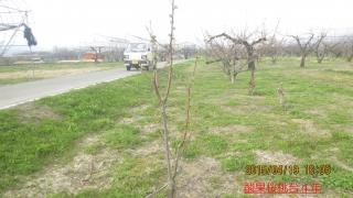 酸果桜桃4年