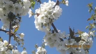 対照樹の花