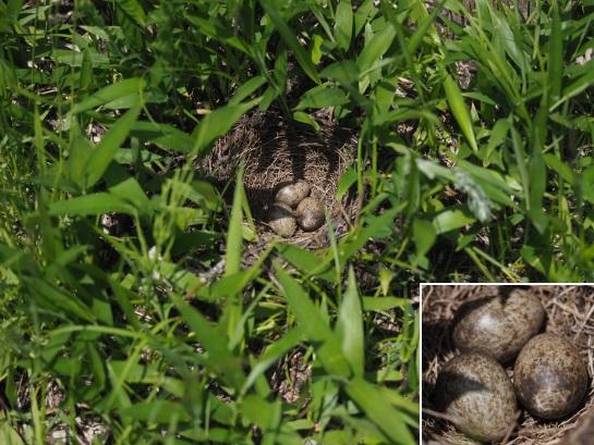 7ヒバリの卵6-4
