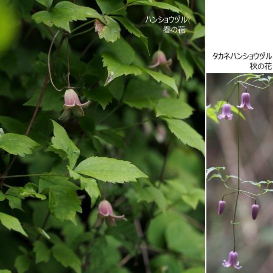 ハンショウヅル14タカネ9