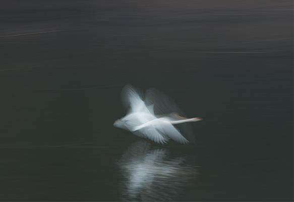 麗白鳥-3