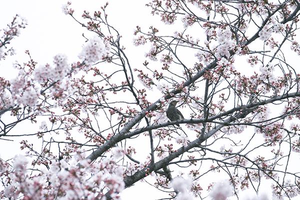 麗さん桜日和