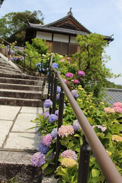 2015.06.25 柳谷観音(紫陽花)-3