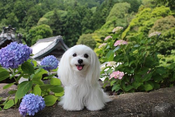 2015.06.25 柳谷観音(紫陽花)-5