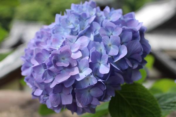 2015.06.25 柳谷観音(紫陽花)-12