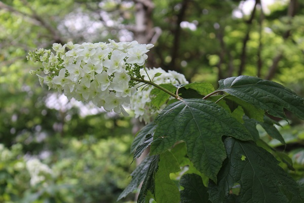 2015.06.25 柳谷観音(紫陽花)-14