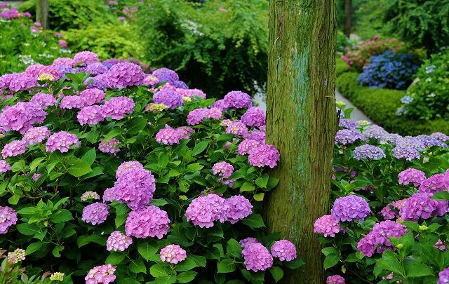 紫陽花13